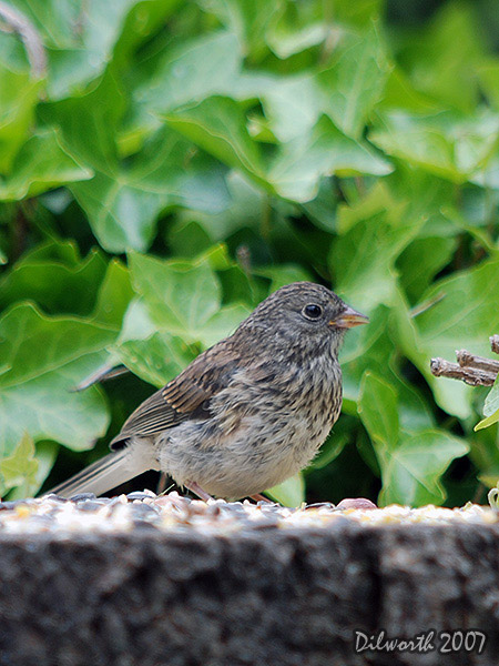 v494m3 Dark-eyed Junco