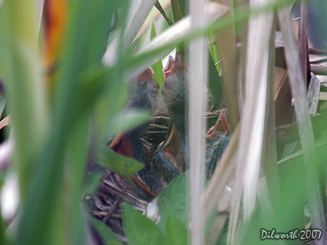 496 Red-winged Blackbird Nest