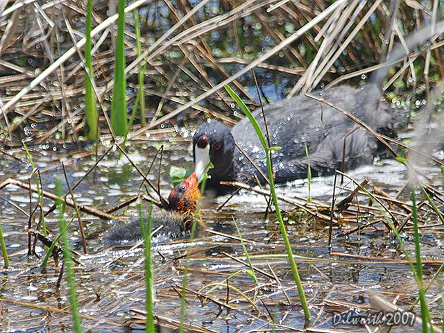 501m3 American Coot