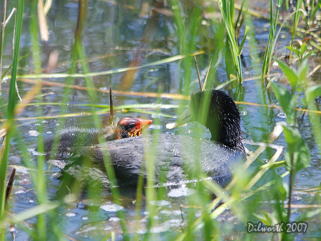 501m5 American Coot