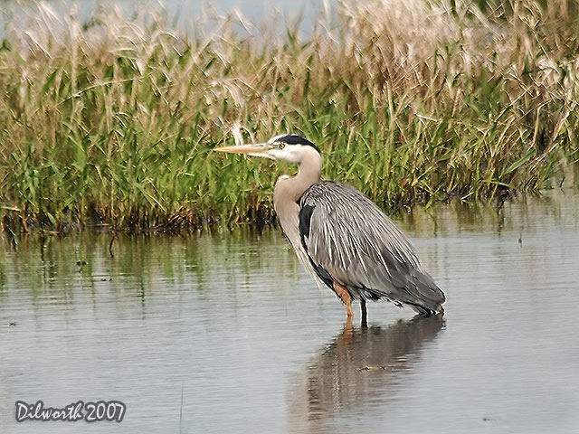 504 Great Blue Heron