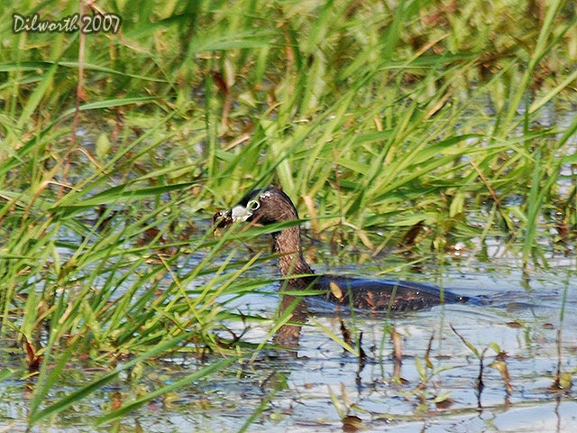 505m2 Pied-billed Grebe