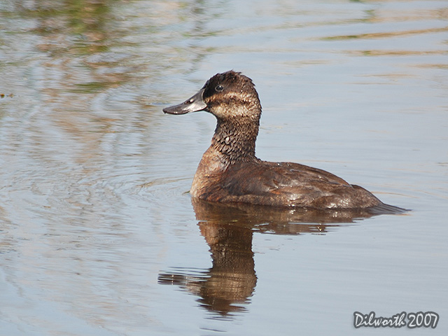 506 Ruddy Duck