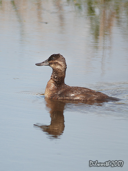 v506m1 Ruddy Duck