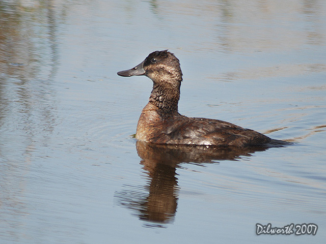 506m3 Ruddy Duck