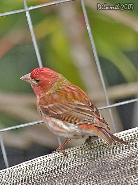 v509 Purple Finch