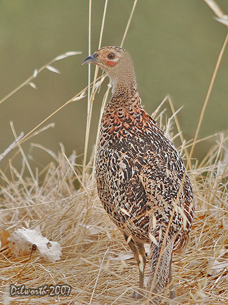 v514m2 Ring-necked Pheasant