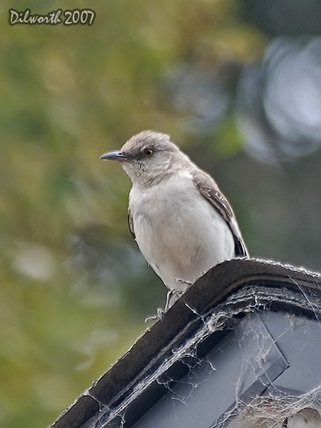 v517 Northern Mockingbird