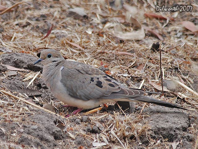 520 Mourning Dove