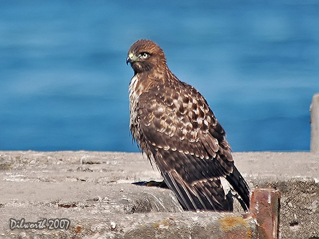524m1 Red-tailed Hawk