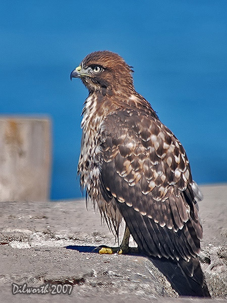 v526 Red-tailed Hawk