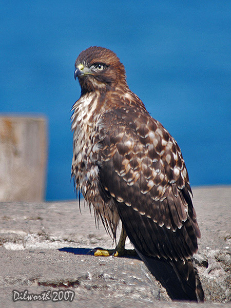 526m1 Red-tailed Hawk