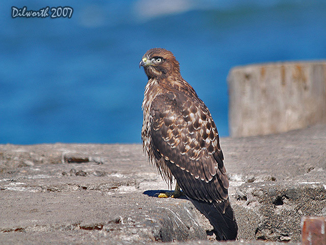 526m10 Red-tailed Hawk