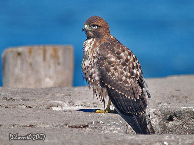 526m7 Red-tailed Hawk