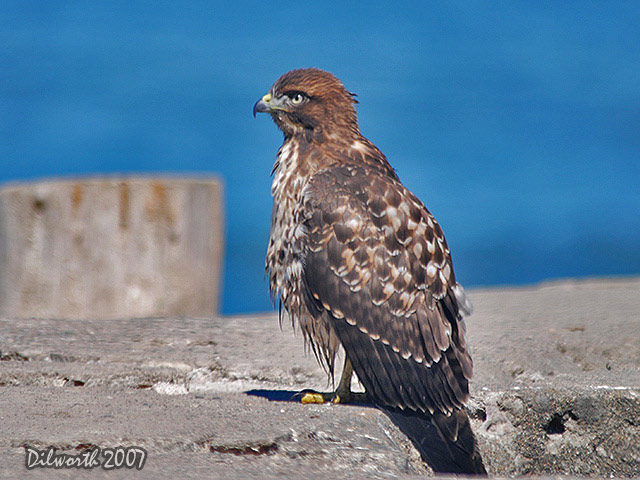 526m8 Red-tailed Hawk