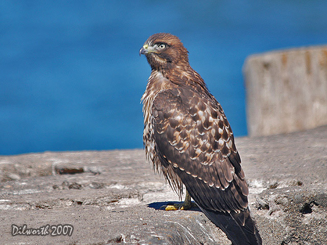 526m9 Red-tailed Hawk