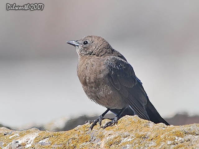 527 Brewer's Blackbird