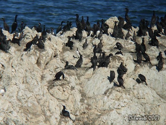 529m Common Murre & Brandt's Cormorant