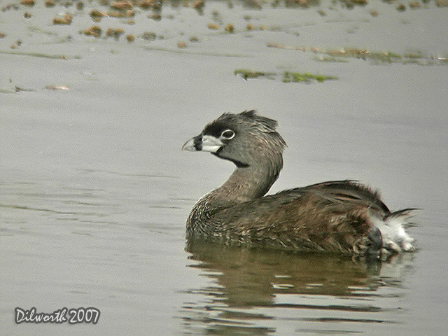 536 Pied-billed Grebe