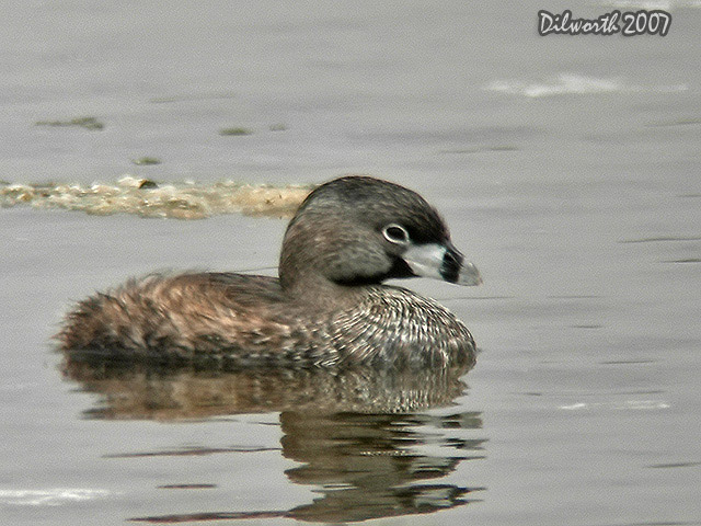 536m3 Pied-billed Grebe