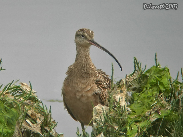 538 Long-billed Curlew