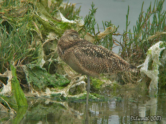 538m2 Long-billed Curlew