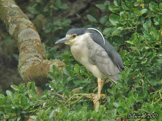 539 Black-crowned Night Heron