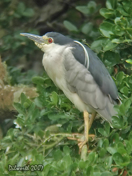 v539m1 Black-crowned Night Heron