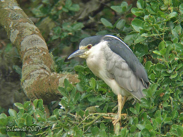 539m2 Black-crowned Night Heron