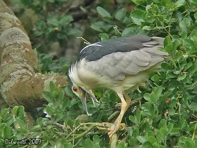 539m3 Black-crowned Night Heron