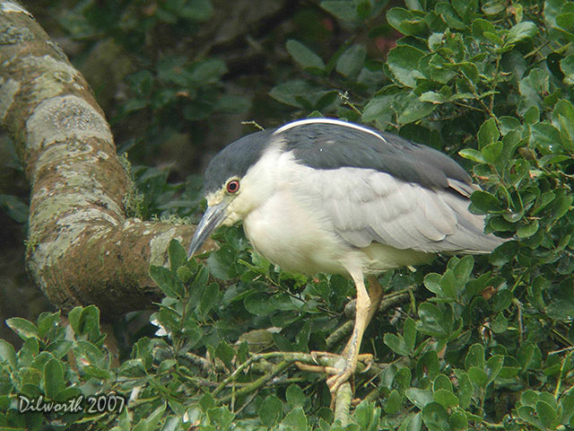 539m4 Black-crowned Night Heron