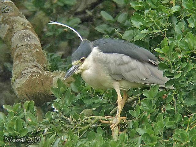 539m5 Black-crowned Night Heron