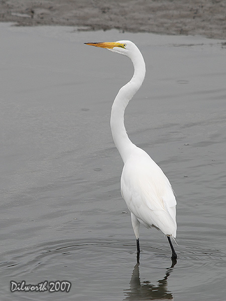v540 Great Egret