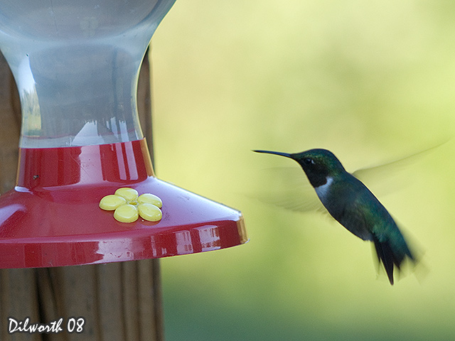 751 Ruby-throated Hummingbird