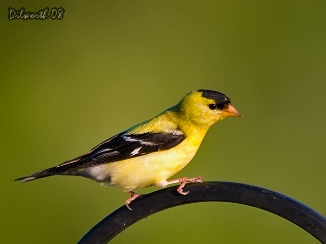 752 American Goldfinch