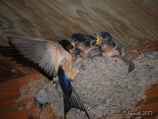 543m4 Barn Swallow