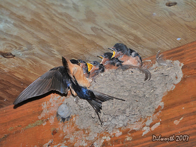 543m6 Barn Swallow