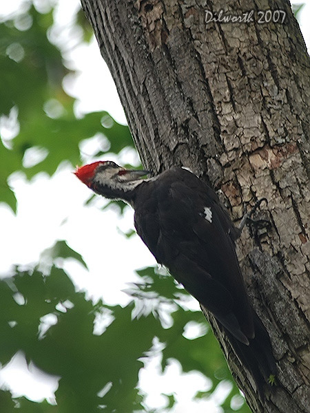 v551m1 Pileated Woodpecker