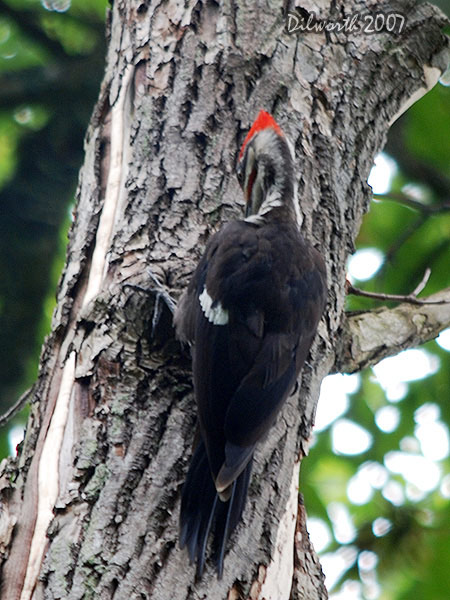 v551m4 Pileated Woodpecker