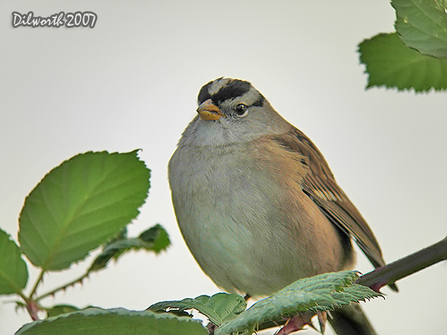 552 White-crowned Sparrow