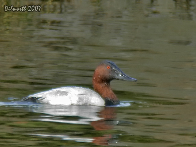 553 Canvasback