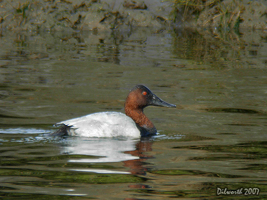 553m1 Canvasback