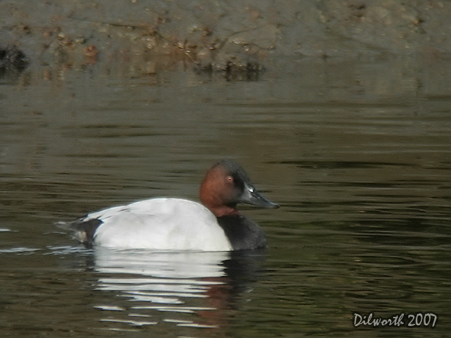 553m3 Canvasback
