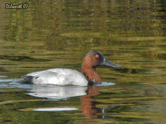 553m4 Canvasback