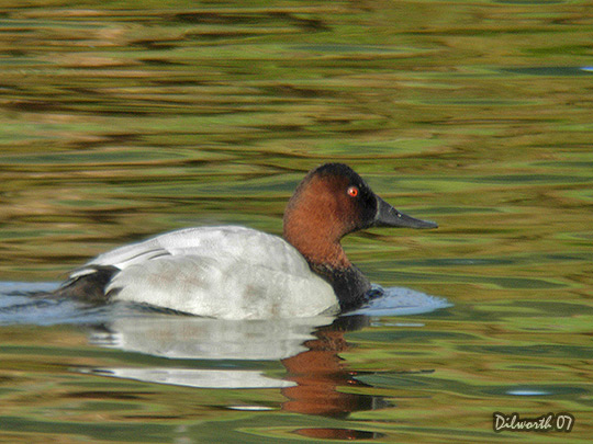 553m6 Canvasback