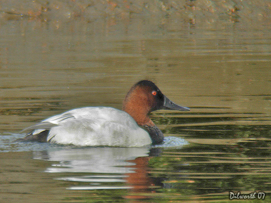 553m7 Canvasback