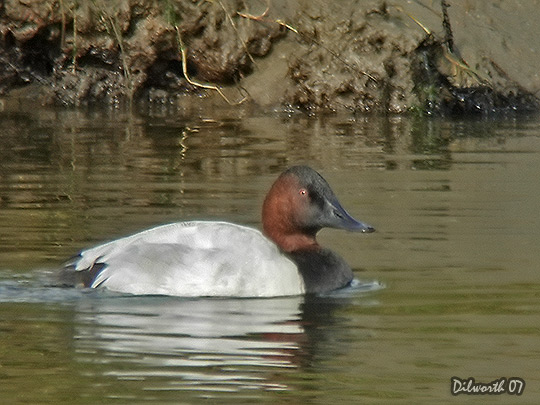 553m9 Canvasback