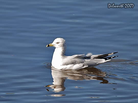 554 Ring-billed Gull