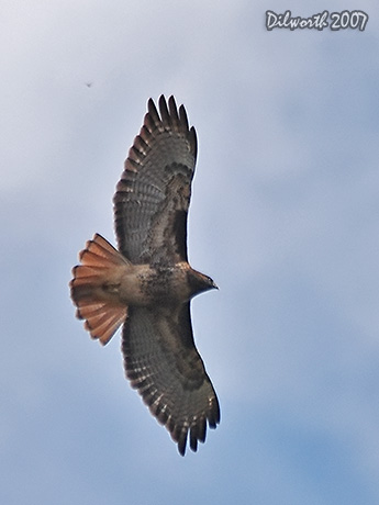v556 Red-tailed Hawk