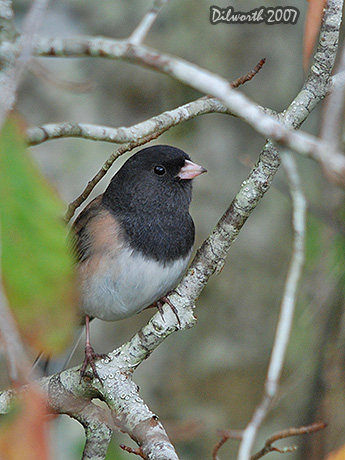 v560 Dark-eyed Junco